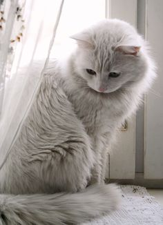 All white Kitty Cat. #cat #cute #cats =^..^= www.zazzle.com/kittyprettygifts it cute i wanna one!!!
