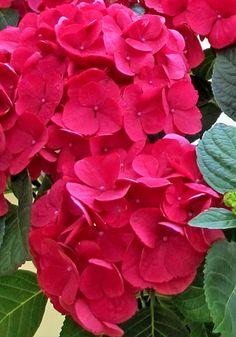 Hydrangea 'Red Baron'