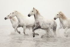 Horse Photography, White Horses Running in Water, Horse Art, Camargue, Winter, Nature, Animal, Ivory - Breathless. $35.00, via Etsy.