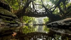 Living Root Bridges, Meghalaya: A Marvel Of Nature Natural Bridge, Tree Roots, Cool Places To Visit, Tours, India, World, Shillong, Holiday Packages, Travel Expert
