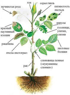 Розы: выращивание и уход за цветами