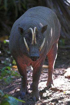 """El babirusa es una especie de mamífero artiodáctilo de la familia Suidae. Es un extraño cerdo nativo de las islas Célebes, en el centro de Indonesia. Su nombre deriva del malayo båbí rûsa, que significa """"puerco ciervo""""."""