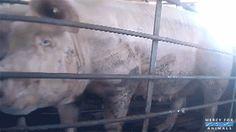 Sete práticas que mostram que a indústria da carne é como um filme de terror - EscolhaVeg.com.br