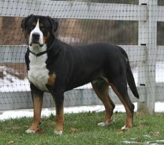 Greater Swiss Mountain Dog - American Kennel Club
