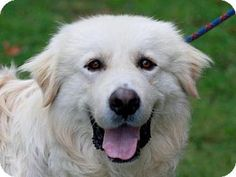 11/21/16 Danbury, CT - Great Pyrenees. Meet Prince Falkor, a dog for adoption. http://www.adoptapet.com/pet/17069612-danbury-connecticut-great-pyrenees