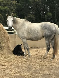 $2500 - Warmblood broodmare out of Grande Farnese.  16.1, 7 yrs.  Produced 1 live foal (AI), fantastic mother. lovely nature. Only selling as not breeding anymore. Located Wonga Park  Vic
