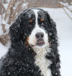 Echo-Bernese Mt. Dog watching the snow