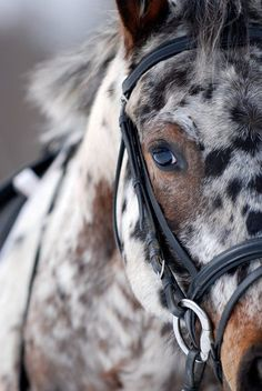 This beautiful horses looks like a work of art - a leopard appaloosa in Sante Fe, New Mexico. Description from pinterest.com. I searched for this on bing.com/images