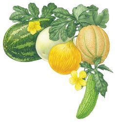Growing melons in your summer garden is simple. From muskmelons to watermelons, learn how to plant, grow and harvest all types of melons.