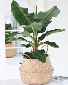 inspiration for a banana plant in your interior - Eigen Huis en Tuin - Inspiration for a banana plant in your interior Inspiration for a banana plant in your home - Living Room Plants, House Plants Decor, Bedroom Plants, Living Rooms, Colorful Plants, Tropical Plants, Hanging Plants, Indoor Plants, Potted Plants