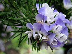 """Psoralea pinnata """"Kool-Aid Bush"""" - via Annie's Annuals.  Large 4-5"""" clusters of lavender blue and white bi-colored sweet pea like flowers are """"sweetly scented – some say like grape Kool-Aid!"""".  A tree up to12'.  From South Africa.  Drought tolerant.  Dense soft needle like foliage."""