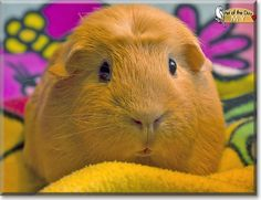 Read My's story the English Crested Guinea Pig from Norway and see her photos at Pet of the Day http://PetoftheDay.com/archive/2013/November/25.html .