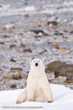 Polar Bear Sitting   Polar Bear, Churchill, Canada   Mike Johnson   Flickr