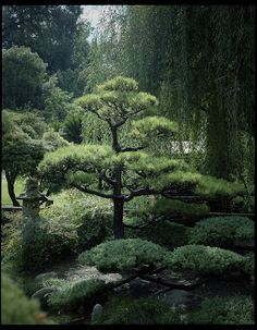 Japanese Black Pine - on my list of must-have plants to add to the yard. Japanese Black Pine - on my list of must-have plants to add to the yard. Asian Garden, Japanese Garden Design, Japanese Gardens, Japanese Garden Plants, Garden On A Hill, Garden Trees, Parcs, Garden Cottage, Cool Plants