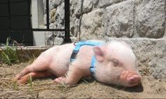 How to Put a Harness on a Mini Pig