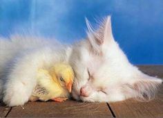 Cat and chicken sleeping together image - Follow the pic for more awww
