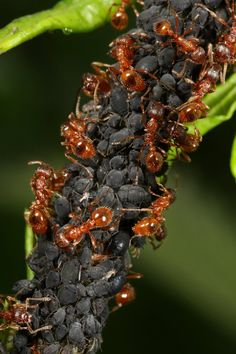 Red ants farming aphids by ~macrojunkie on deviantART