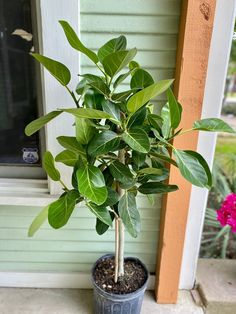 Ficus Tree Indoor, Fiddle Leaf Fig, Plant Care, Potted Plants, House Plants, Leaves, Lady, Gardens, Outdoor