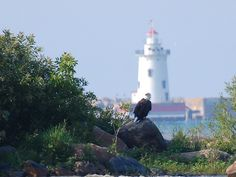 A bald eagle in front of the Harbor Beach Lighthouse, Lake Huron, MI