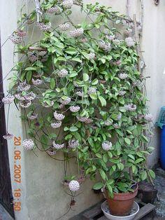 Massive Hoya carnosa on a sturdy bamboo trellis. Holy CRAP that's awesome. Big Indoor Plants, Outdoor Plants, Hanging Plants, Succulents Garden, Garden Plants, Planting Flowers, House Plants Decor, Plant Decor, Exotic Plants