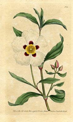 Gum Cistus (Cistus ladaniferus)   Curtis's Botanical Magazine (England , 1790)
