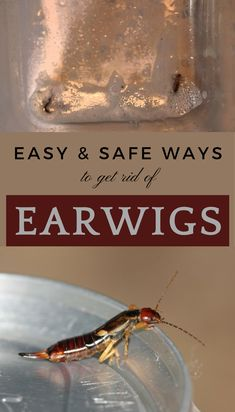 Easy & Safe Ways To Get Rid of Earwigs - nCleaningTips.com