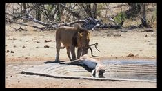 Opportunistic Lion Kill at De Laporte Waterhole - Kruger National Park -...