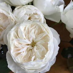 david austin patience white garden rose | ff - rose color studies