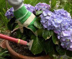 How to grow potted hydrangeas
