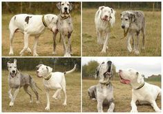 The white Great Dane lost its eyes in an accident. His friend, the gray Great Dane, has become his eyes ever since.    That is true friendship.