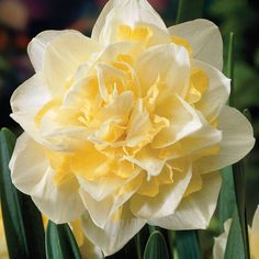 Narcissus 'White Lion' from Thompson & Morgan - experts in the garden since 1855 Daffodil Bulbs, Bulb Flowers, Daffodils, Yellow Flowers, Spring Flowers, Beautiful Flowers, Beautiful Gardens, Hardy Perennials, Flowers Perennials