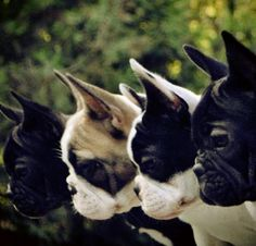 Here is a real piece of art! A photo of four Boston Terrier Dogs looking down the same thing. Can you tell what they are looking at? Leave your comments! - http://www.bterrier.com/four-boston-terriers-looking-down-the-same-thing/