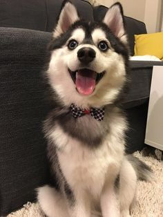 Happy Husky mix dressed for success Pomsky Dog, Husky Puppy, Husky Mix, Cute Baby Animals, Funny Animals, Cute Puppies, Dogs And Puppies, Doggies, Alaska Dog