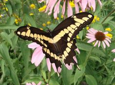 Don't destroy Prickly Ash and you may one day come across one of these butterflies -- The Giant Swallowtail. The caterpillars feed on Prickly Ash.