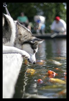 Afternoon at the Arboretum (by kingpinphoto)  Husky dog with fish