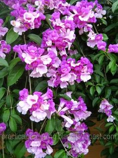 Garlic Vine (Mansoa alliacea, Cydista aequinoctialis).  This is one of the prettiest tropical vines.  Here's how you can grow and propagate the garlic vine for its flowers.