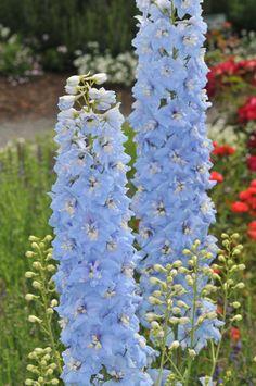 Delphinium 'Summer Skies' Big Flowers, Flowers Nature, Fresh Flowers, Beautiful Flowers, Perennial Flowering Plants, Garden Plants, Perennials, Perennial Gardens, Fruit Garden