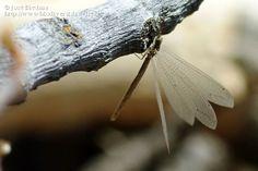 Título: Myrmeleontidae, Descripción: Una hormiga león bien desarrollada., Provincia/Distrito: Jaén, País: España, Fecha: 24/07/2014, Autor/a: José Biedma, Id: 652179