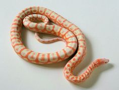 Scaleless Reverse Okeetee Corn Snake