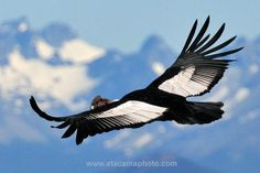 See an Andean Condor (Vultur gryphus) in flight, Patagonia