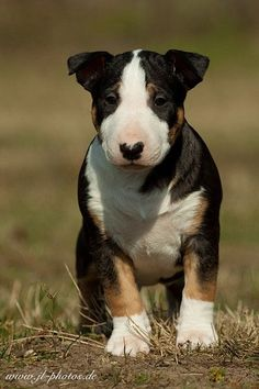 Beautiful Baby Bully !!  #Bull #Terrier #puppy
