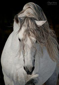 Andalusian  Horse named Zingaro