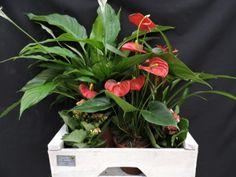 Centro de Plantas. Anthurium, Spatifilium blanco, Kalanchoe y Briesa de Merchy Floristas en Vigo, asociada a www.flores.apanymantel.com y con entrega a domicilio en Vigo y alrededores.
