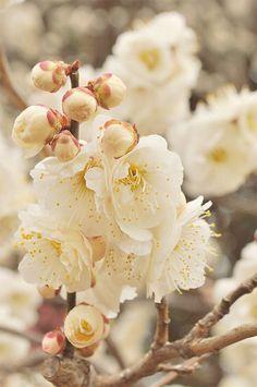 ** blossom.