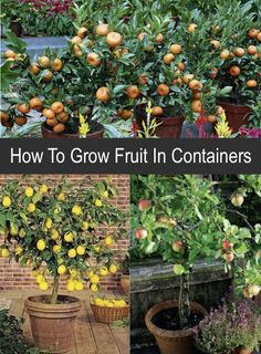 If you want to grow your own fruit but have limited space, try growing fruit trees in containers. Fruit Garden, Edible Garden, Vegetable Garden, Growing Vegetables, Growing Plants, Fruit Trees, Trees To Plant, Citrus Trees, Container Plants