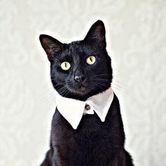 Blanc a fait le collier chat