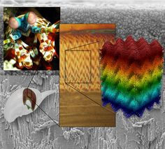 The 'smasher' mantis shrimp has inspired a new ultra-strong 3D printed material.