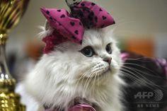 世界のネコちゃん集合! トルコで国際キャットショー