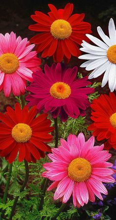 ~~Painted Daisy (Tanacetum coccineum hybrid) | well-known in the border and as cut flowers with big pastel-colored blooms. The plants are fairly tall so they are perfect for a long vase | Spalding Bulb~~