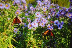 Monarchs feeding on pollen in late summer on New England or New York Asters in WI